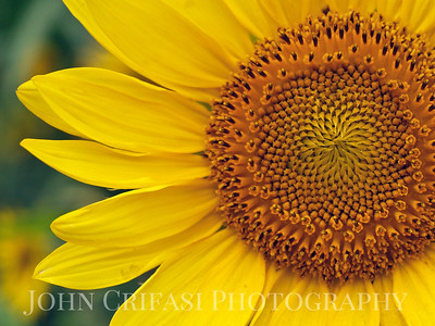 Clay County, Alabama, sunflower.