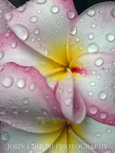 After the rain. Plumerias