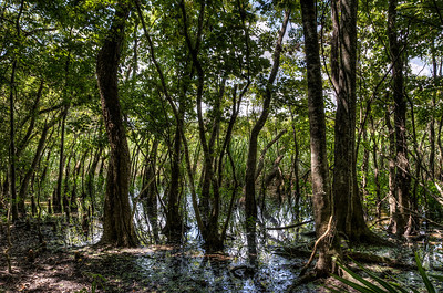 trees-bayou-swamp-1