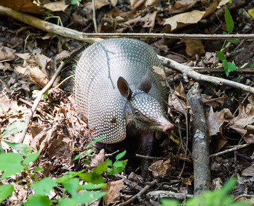 forest-armadillo-1