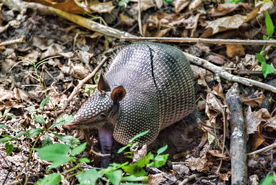 forest-armadillo-2