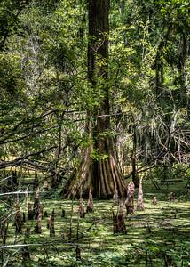 cypress-swamp-1