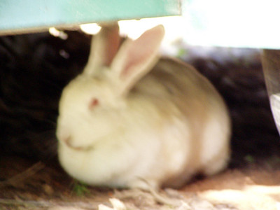 16  White Rabbit