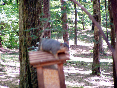 12  Another Squirrel at Shirley's