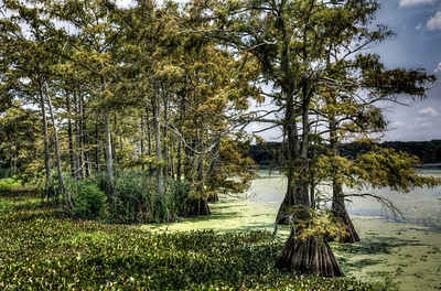 louisana-swamp-trees-3