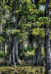 louisiana-swamp-cypress-trees-1
