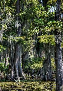 louisiana-swamp-cypress-trees-1