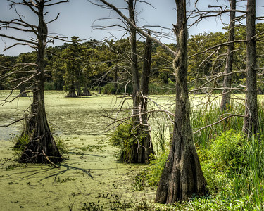 cypress-trees-swamp-1-2