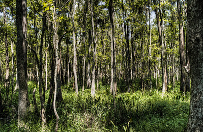 swamp-forest-trees-1