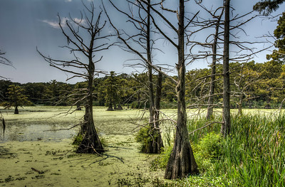 cypress-trees-swamp-1