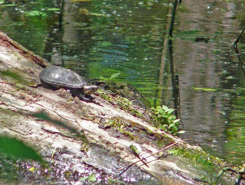 Eastern Mud Turtle basking on a bent tree trunk in Lake Martin