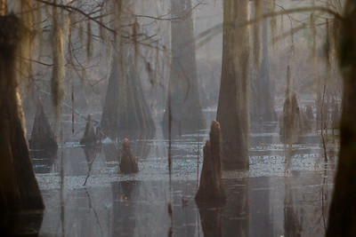 Foggy Morning on the Swamp