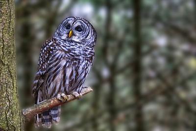 Atchafalaya Barred Owl
