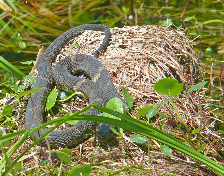 Broad-banded water snake on tussock in Lake Martin