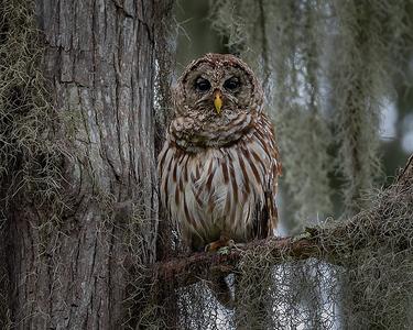 Barred Owl at Lake Martin Louisiana