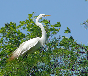 Great Egret with stained tail feathers perching atop a tree on the shore of Lake Martin