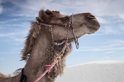 White Sands Camel