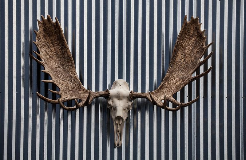 Moose-skull.jpg