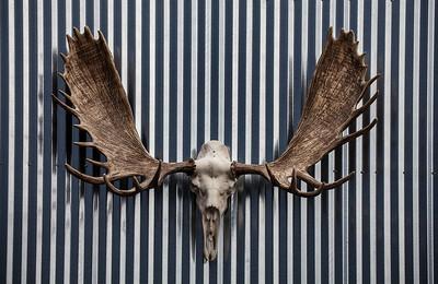 Moose-skull