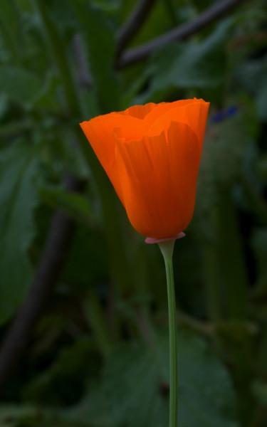 Calif. Poppy