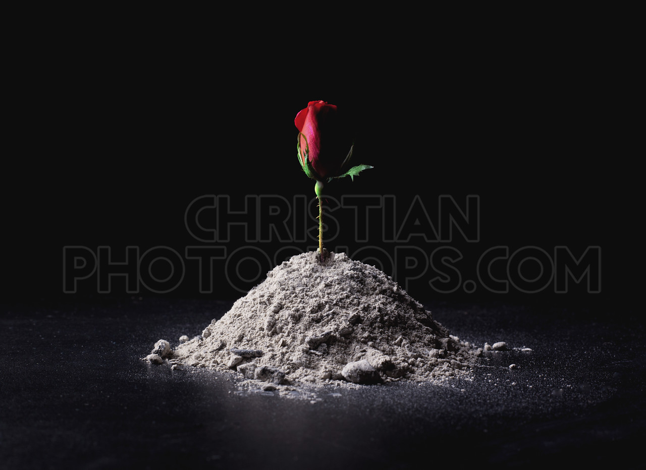 Rose from ashes