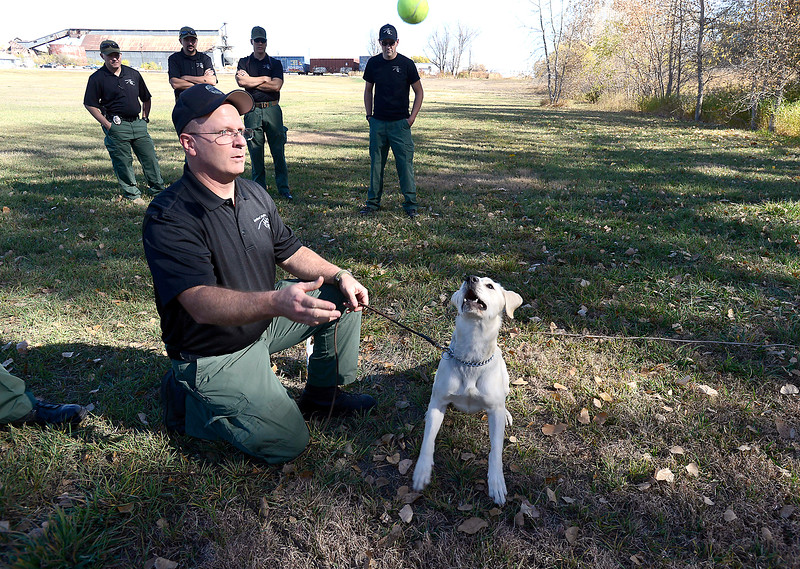 Jojo, one of Loveland Police department's newest K-9's, keeps her eye on the prize while training with her handler, Community Service officer Travis Tebbe on Tuesday, Oct. 26, 2016, at the training grounds near the Police and Courts Building in downtown Loveland. The 1 year-old European Labrador will specialize in explosives. (Photo by Jenny Sparks/Loveland Reporter-Herald)