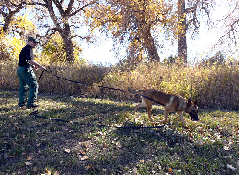 Loveland Police officer Ryan McAuley works on training Pako, one of the department's new K-9's on Tuesday, Oct. 26, 2016, at the training grounds near the Police and Courts Building in downtown Loveland. The 2 year-old Belgian Malinois will specialize in narcotics. (Photo by Jenny Sparks/Loveland Reporter-Herald)