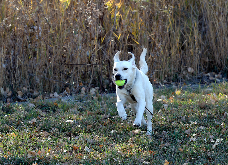 Jojo, a Loveland Police K-9, heads back to her handler, Community Service officer Travis Tebbe, after finding a ball in tall grass and brush during training on Tuesday, Oct. 26, 2016, near the Police and Courts Building in downtown Loveland. The 1 year-old European Labrador will specialize in explosives. (Photo by Jenny Sparks/Loveland Reporter-Herald)(Photo by Jenny Sparks/Loveland Repdorter-Herald)