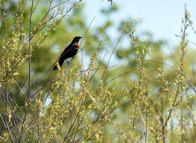 A red-winged black bird perches on a branch Friday, May 12, 2017, at the city's new open space on east First Street near New Vision Elementary School in Loveland.  (Photo by Jenny Sparks/Loveland Reporter-Herald)
