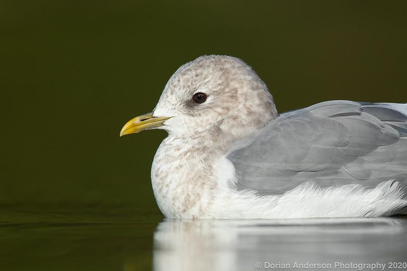 Mew Gull (winter adult)