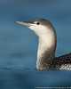 Red-throated Loon (winter plumage)