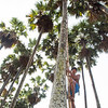 In Cambodia farmers attract bats to artificial roosts, collect their droppings, and sell the guano for fertilizer. Each roost consists of 10 bundles of dried palm fronds, each consisting of five fronds wired together and hoisted, one bundle at a time, to the top of a palm tree. One farmer reported earning nearly  $900 US per year per roost, that farmer relying on 10 roosts for extra income.  Climbing palm to install a new  bat roost.