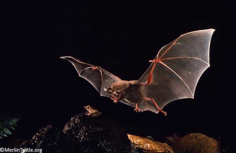 frog-eating bat, Trachops cirrhosus