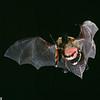 A long-eared myotis (Myotis evotis) has captured an underwing moth (Catocala innubens) in Arizona. Catching Prey