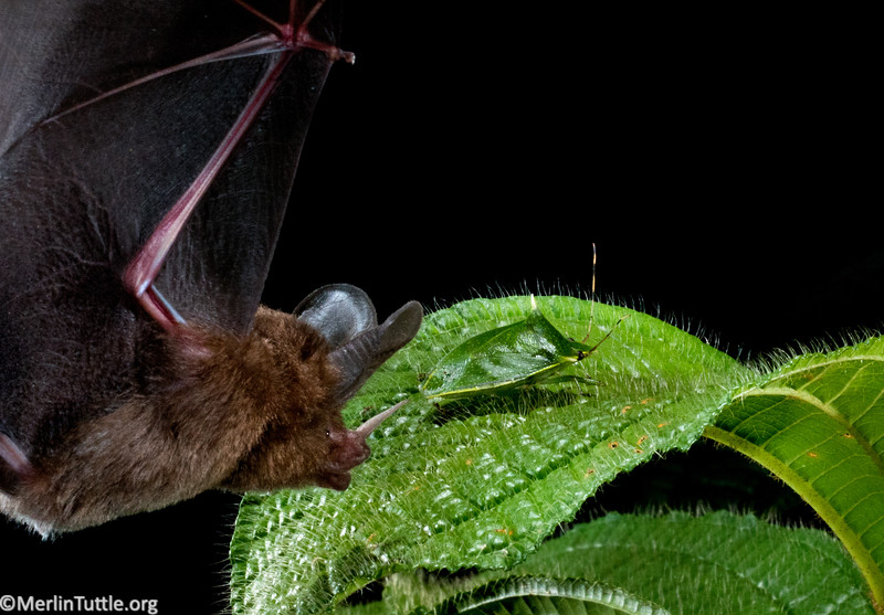 Phyllostomidae, Little big-eared bat (Micronycteris megalotis), catching prey