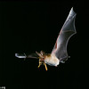 A pallid bat (Antrozous pallidus) carrying a scporpian in Arizona. This bat feeds on and is immune to the stings of scorpions and centipedes. Catching Prey
