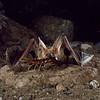 A pallid bat (Antrozous pallidus) catching a giant desert centipede (Scolopendra heros) in Arizona. Catching Prey