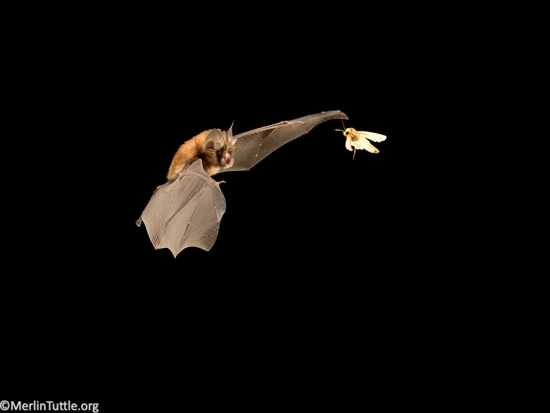 A Formosan lesser horseshoe bat (Rhinolophus monoceros) capturing an oriental leafworm moth (Spodoptera litura) in Taiwan. This is one of Australasia's most costly crop pests. It attacks a wide variety of fruit and vegetable crops. Catching Prey