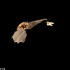 A Formosan lesser horseshoe bat (Rhinolophus monoceros) capturing an oriental leafworm moth (Spodoptera litura) in Taiwan. This is one of Australasia's most costly crop pests. It attacks a wide variety of fruit and vegetable crops.