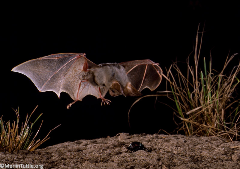 Heart-nosed bat (Cardioderma cor)