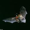 Long-eared myotis (Myotis evotis)