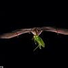 A Waterhouse's leaf-nosed bat (Macrotus waterhousii) carrying a katydid in Jamaica.