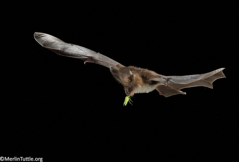 The Common or Egyptian slit-faced bat (Nycteris thebaica) is one of several South African bat species that appears to prey heavily on green stink bugs (Nezara viridula), one of the country's most costly pests of macadamia nut orchards. This stink bug is being eaten in flight.