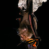 Dobson's horseshoe bat, Rhinolophus yunanensis