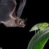 A hairy big-eared bat (Micronycteris hirsuta) about to catch a katydid in Panama.