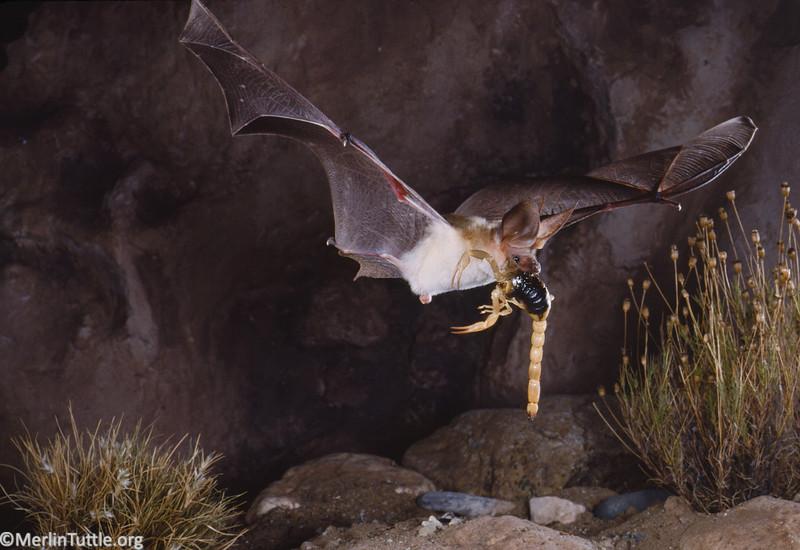 A pallid bat (Antrozous pallidus) in flight with a scorpion, its prey. Catching prey