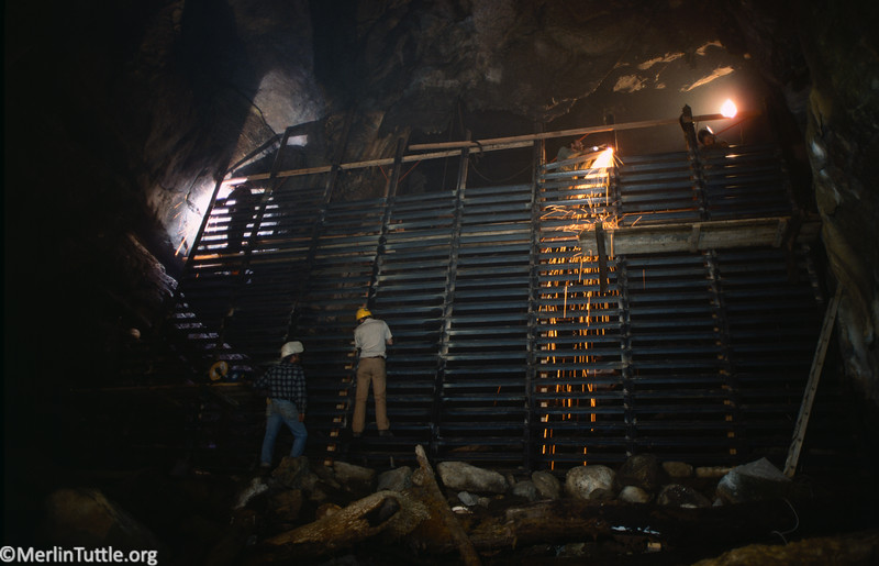 Volunteer cavers helping build a huge steel gate to protect endangered gray bats that hibernate in Hubbards Cave, Tennessee. Due to protection, this colony grew by over 400,000 over several decades. Space above the gate allows bats to fly over. Conservation