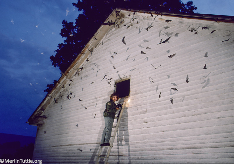 Ranger naturalist, Kerry Estright-Pruznak, from Canoe Creek State Park in Pennsylvania entertaining visitors during an early morning return of more than 10,000 little brown myotis (Myotis lucifugus) to their protected nursery roost. Conservation, Roosting