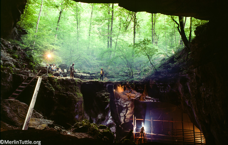 Volunteer cavers helping build a huge steel gate to protect endangered gray bats that hibernate in Hubbards Cave, Tennessee. Due to protection, this colony grew by over 400,000 over several decades.
