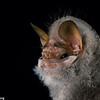 wrinkle-faced bat, Centurio senex